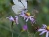 butterflyonpurplect2