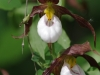 Lady-Slippers