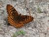 Fritillary-Butterfly-BK2