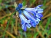 Bluebell-Flower-Large-flowered-Triteleia