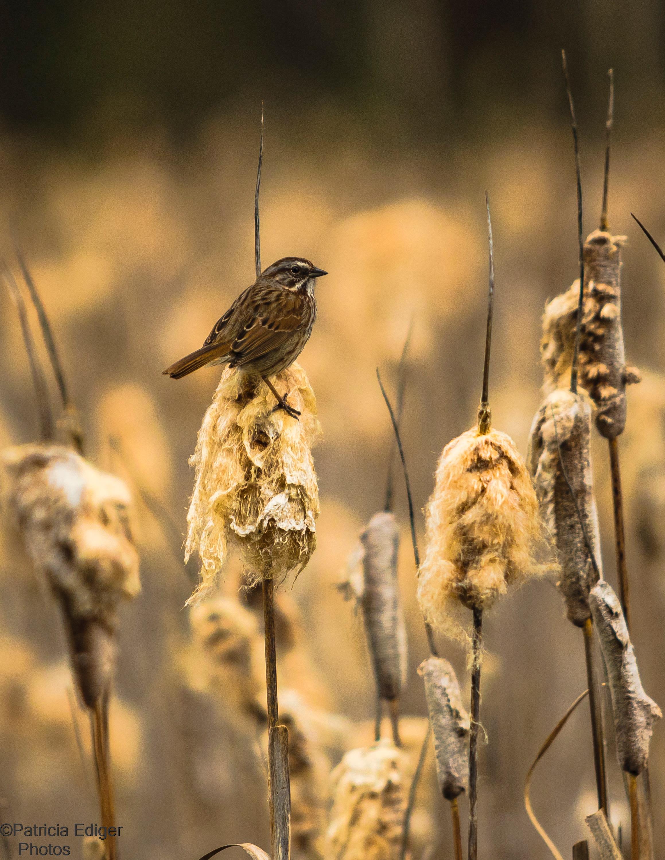 Song Sparrow on the Bull Rush