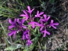 Elkhorns Clarkia-photo by Bertha Kamstra