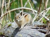 Chipmunk-DanPrice-scaled