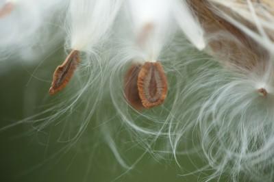 milkweed-pod-179708_1920