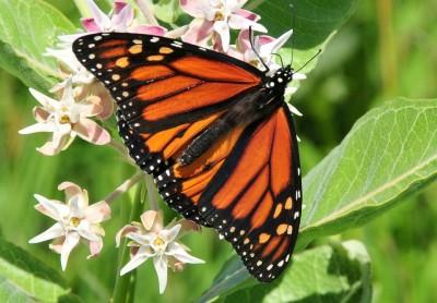 monarch-butterfly-931632_1280